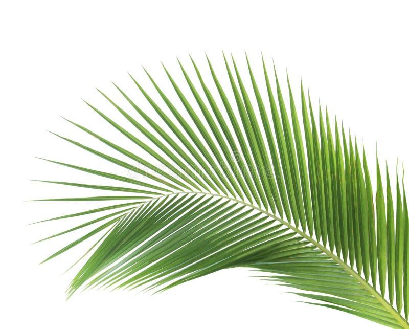 Grönt isolerat kokosnötblad arkivbilder