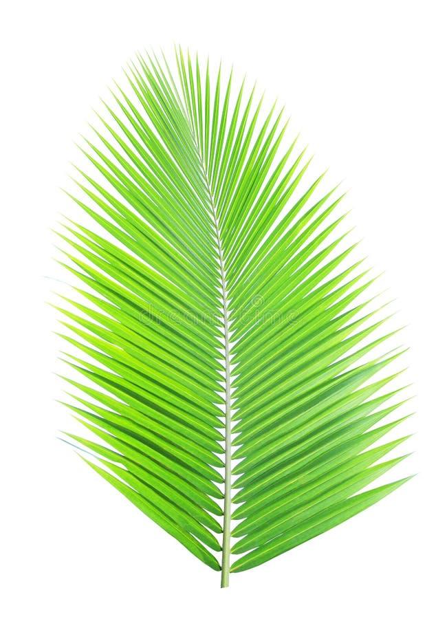 Grönt isolerat kokosnötblad royaltyfria foton