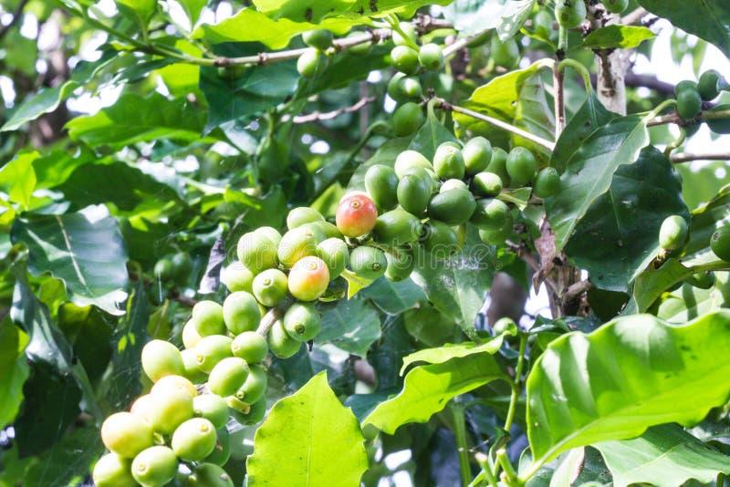 Grönt kaffe royaltyfri foto