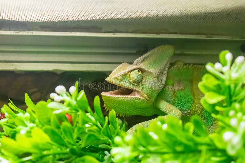 Grönt kameleonthuvud med den öppna munnen och stora ögon arkivfoton