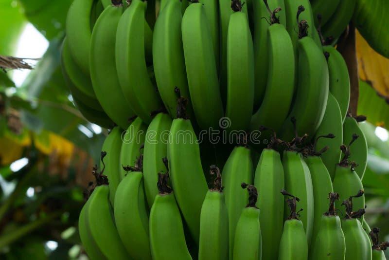 Grönt knäpp hänga på bananträd arkivbilder