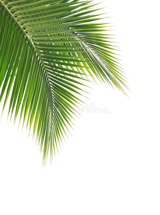 Grönt kokosnötblad på vit bakgrund fotografering för bildbyråer