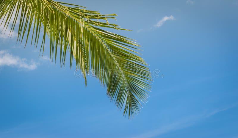 Grönt kokosnötpalmträdblad mot blå himmel tropisk bakgrund royaltyfri fotografi