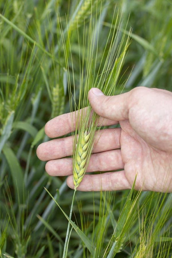 Grönt kornöra med den långa awnen i den manliga handen En bonde tycker om kornskördråvaror för att brygga royaltyfri fotografi