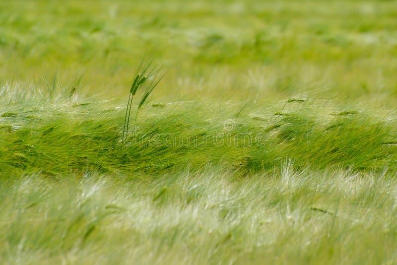 Grönt kornfält arkivbilder