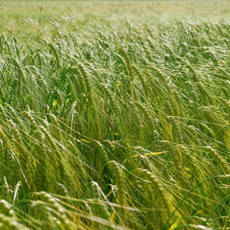 Grönt kornfält royaltyfria foton