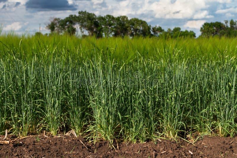 Grönt kornfält arkivbild