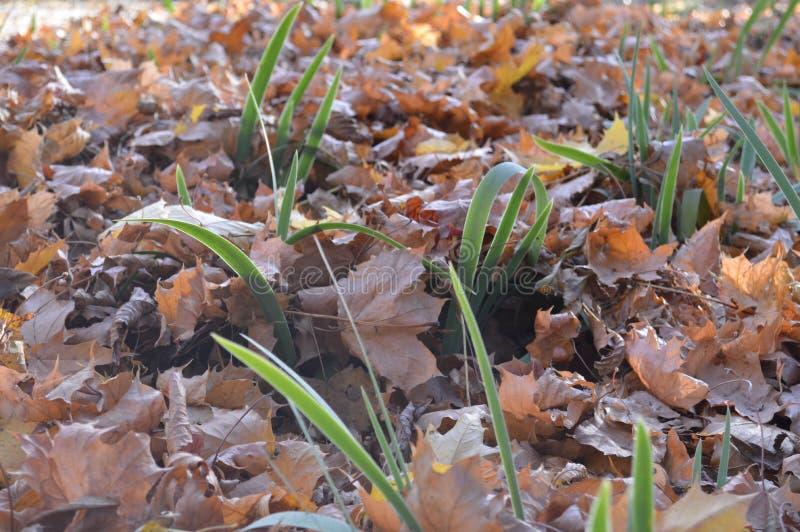 Grönt långt nytt gräs växer till och med en naturlig matta av torrt fal royaltyfri fotografi