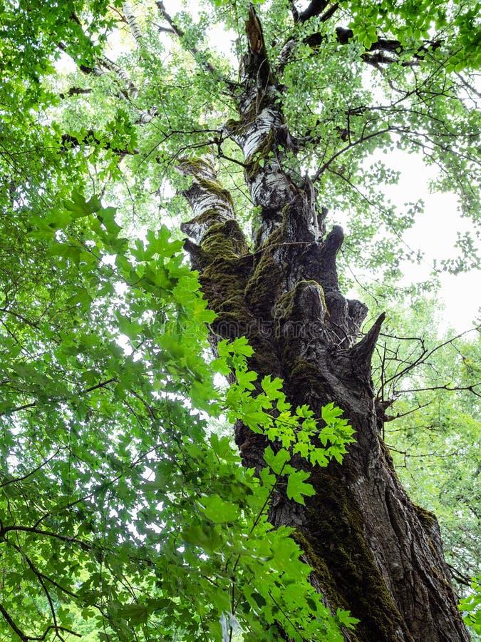 grönt lönnris och gammalt björkträd i skog royaltyfri bild