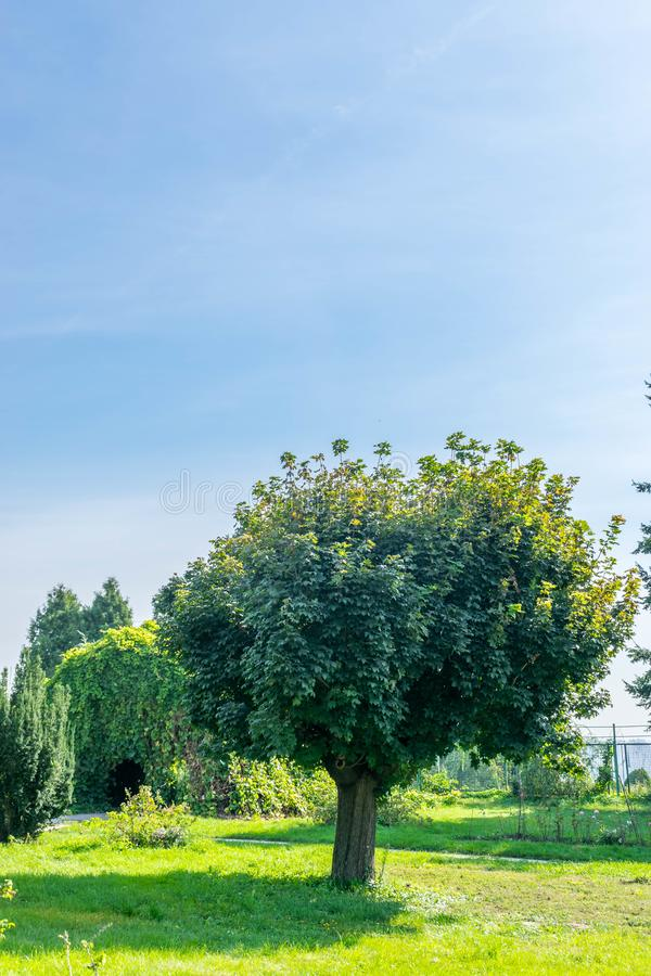 Grönt lönnträd i trädgården fotografering för bildbyråer