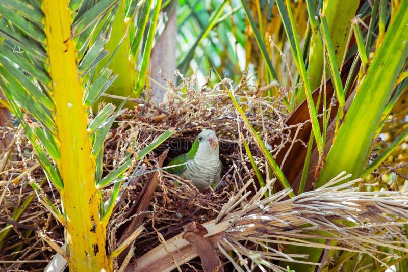 Grönt löst papegojasammanträde i redet i en palmträd, Barcelona fotografering för bildbyråer