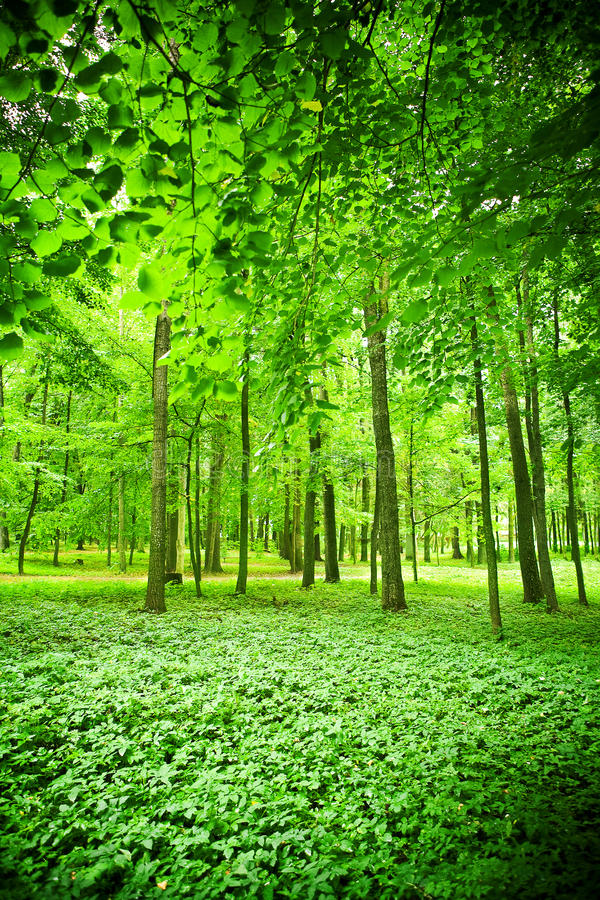 grönt lövrikt trä royaltyfri foto