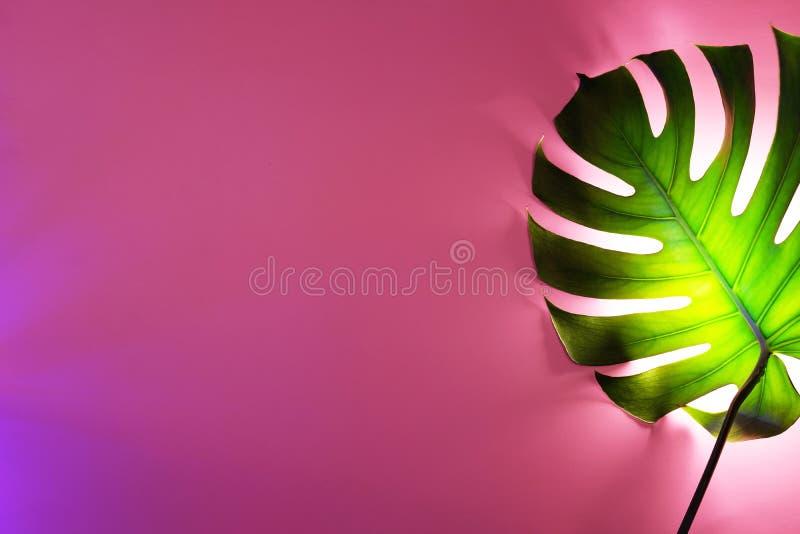 Grönt monsterablad på rosa bakgrund med det speciala neonpanelljuset royaltyfri foto