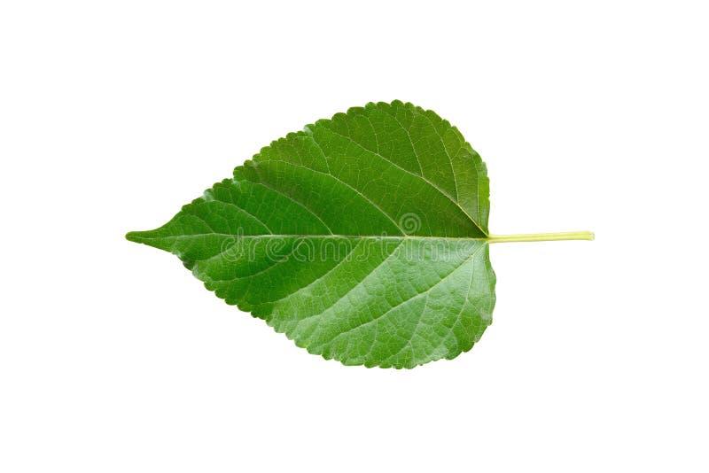Grönt mullbärsträdblad arkivbilder