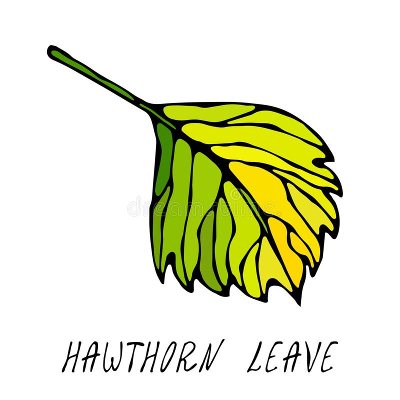 Grönt och gult hagtornblad Höst eller nedgångskördsamling Realistisk hand dragen högkvalitativ vektorillustration Klotter S vektor illustrationer