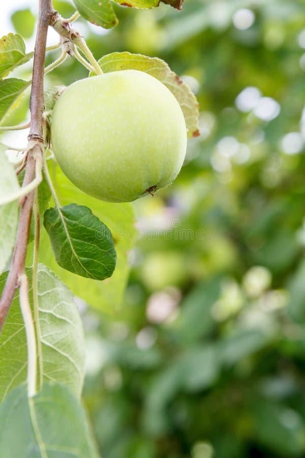 Grönt omoget äpple på en filial av trädet i trädgården arkivfoto