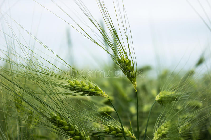 Grönt omoget vete En veteåker Många kornväxter arkivfoton