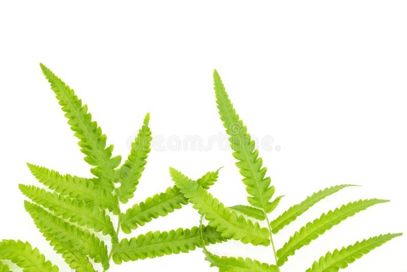 Grönt ormbunkeblad för Closeup som isoleras på vit bakgrund av mappen med utrymme för snabb bana och kopierings, utrymme för text royaltyfria bilder