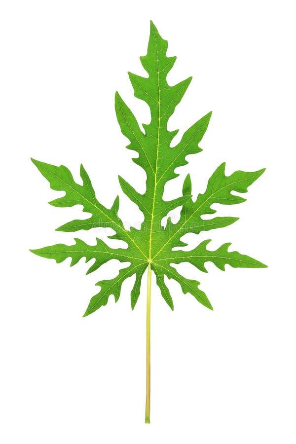 Grönt Papayablad som isoleras på vit arkivbilder
