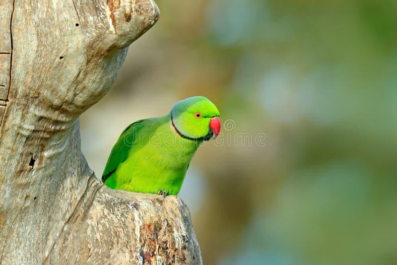 Grönt papegojasammanträde på trädstammen med grön bakgrund Ros-ringed parakiter, Psittaculakrameri, härlig papegoja i naturen royaltyfri foto
