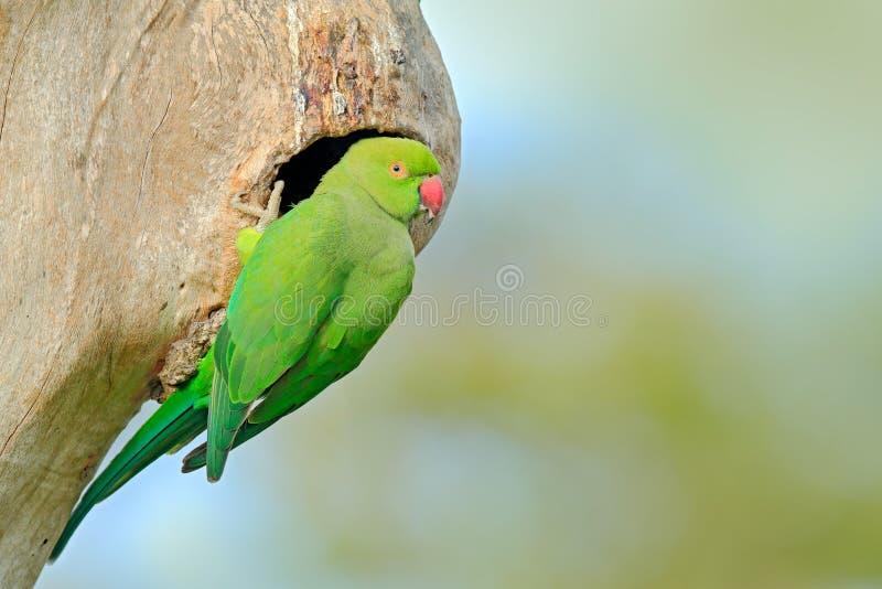 Grönt papegojasammanträde på trädstammen med redehålet Bygga bo denringed parakiter, Psittaculakrameri, härlig papegoja i naturen royaltyfri bild