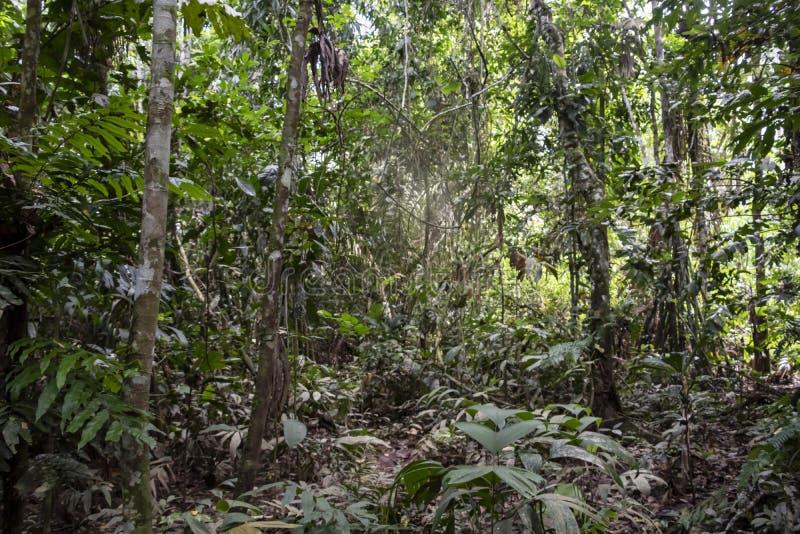 Grönt rainforestlandskap, ansvarig och hållbar ecoturism i djungeln, Bolivia royaltyfri foto