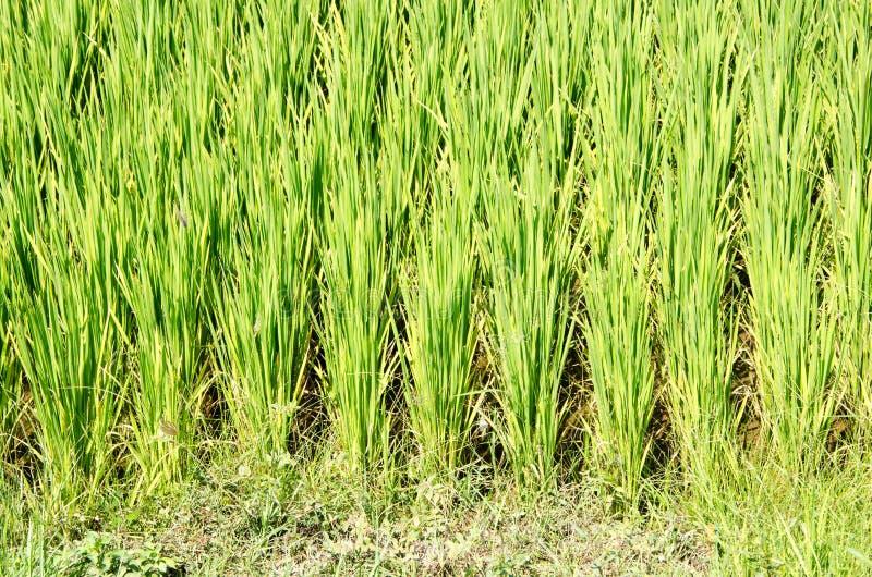 Grönt ris skjuter på en koloni i södra Vietnam fotografering för bildbyråer