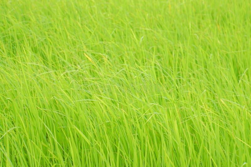 Grönt risfältlantgårdslag bort vid vind royaltyfria foton