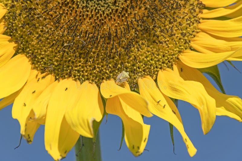 Grönt sköldfel på en gul jätte- solros arkivbild