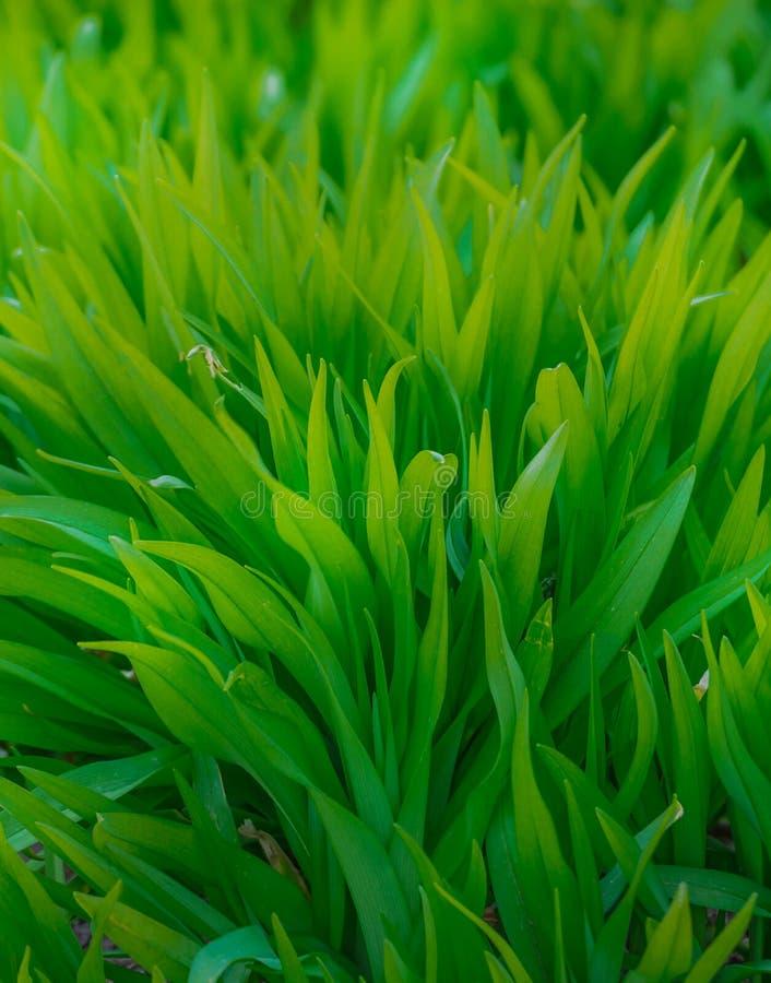 Grönt sommargräs och sol Första groddar som kommer från jordningen arkivfoto