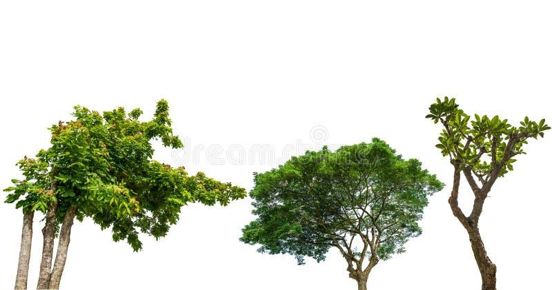 Grönt stort träd med vit bakgrund arkivbilder