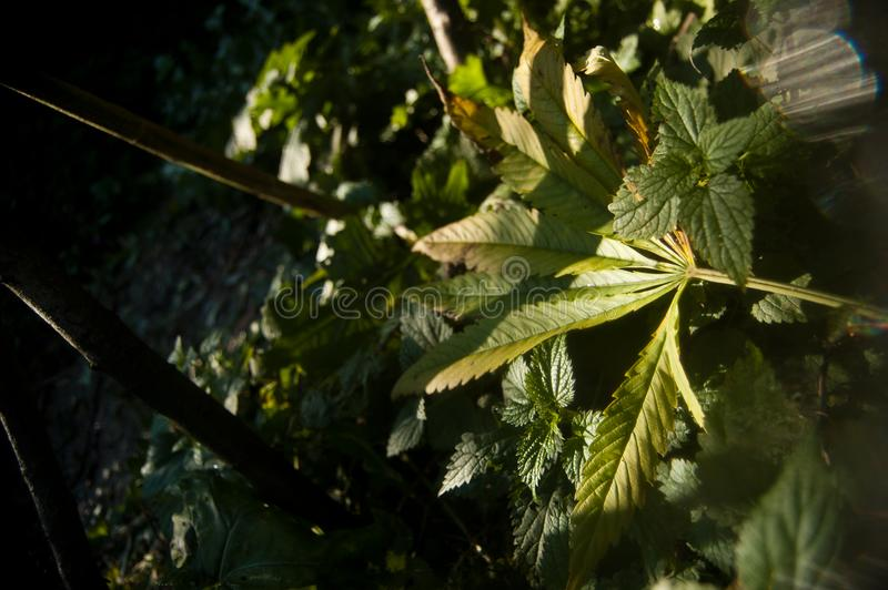 Grönt stupat marijuanablad arkivbilder