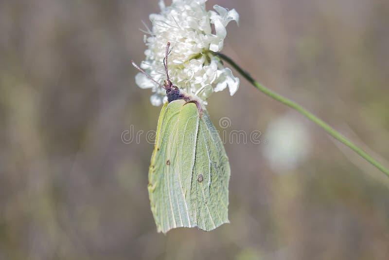 Grönt svavel för fjärilsGonepteryx rhamni på den vita blomman royaltyfri fotografi