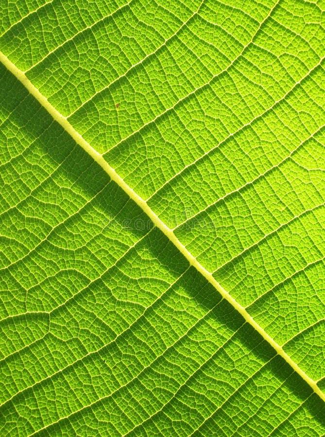 Grönt teakträbladslut upp arkivbild