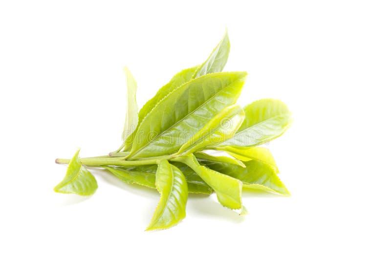 Grönt teblad som isoleras på vit bakgrund arkivfoton