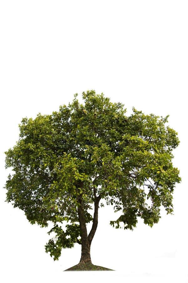 Grönt träd, härlig vit bakgrund härligt väx royaltyfri illustrationer