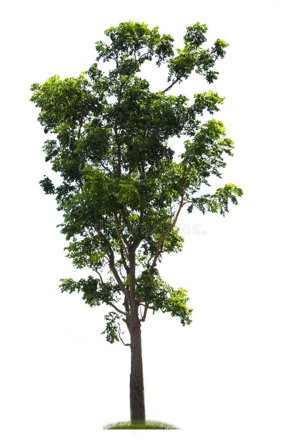 Grönt träd, härlig vit bakgrund härligt väx stock illustrationer