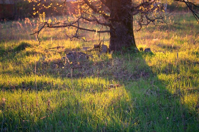 Grönt träd i ett orange solljus arkivfoton