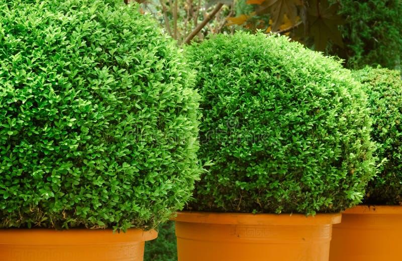 Grönt träd i kruka royaltyfri bild
