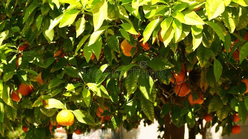 Grönt träd med sidor och apelsiner arkivbild