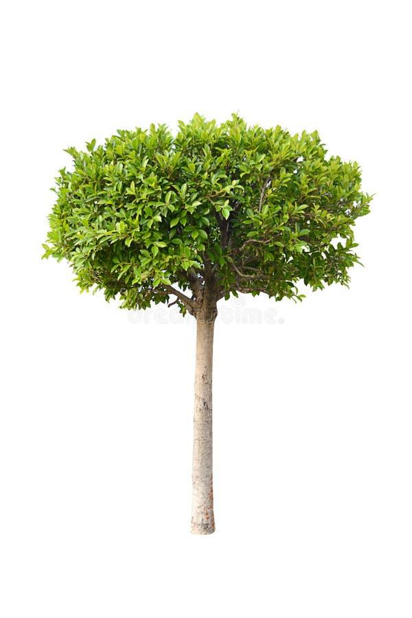 Grönt träd med vit bakgrund, isolerat träd på vit bakgrund arkivfoton