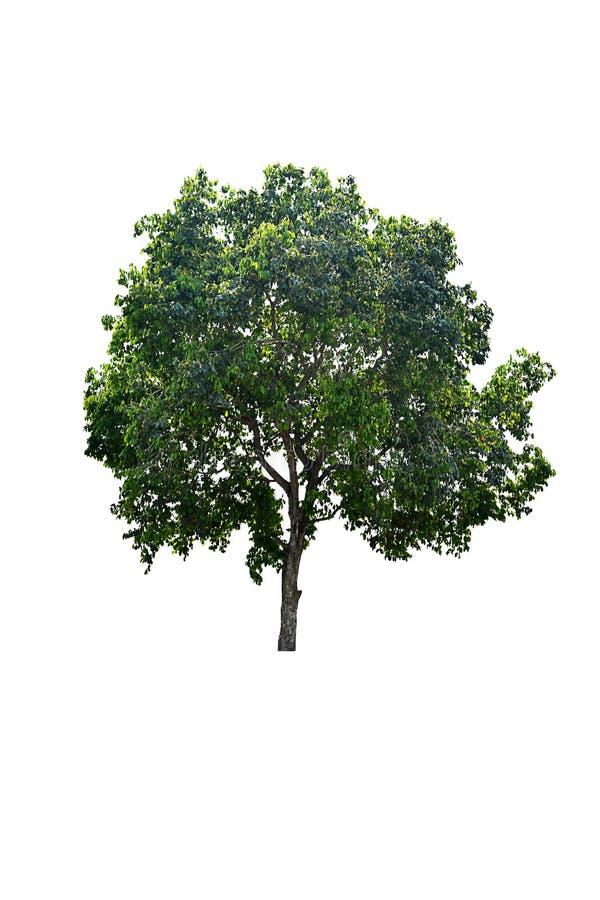 Grönt träd med vit bakgrund, isolerat träd på vit bakgrund royaltyfria foton