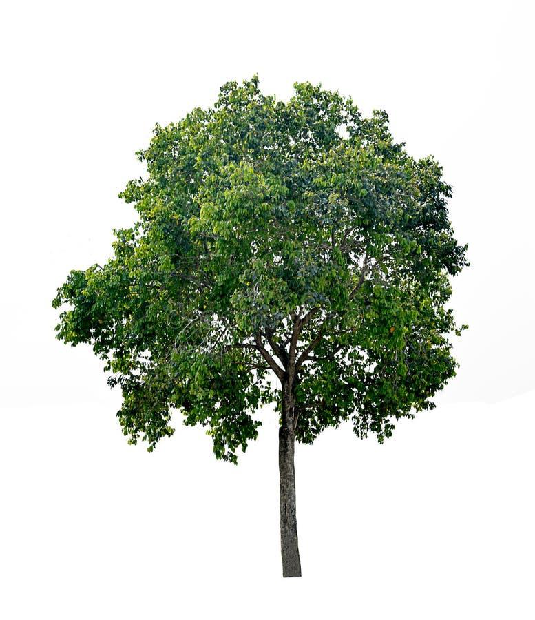 Grönt träd med vit bakgrund, isolerat träd på vit bakgrund royaltyfria bilder