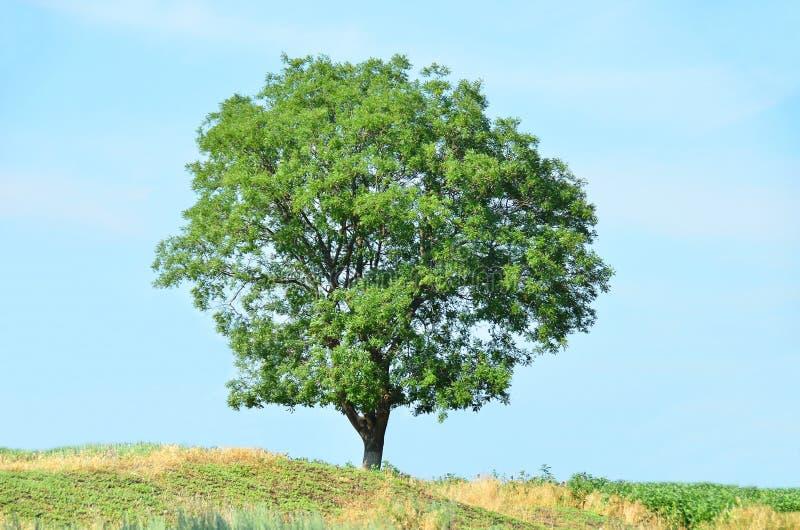Grönt träd och himmel fotografering för bildbyråer