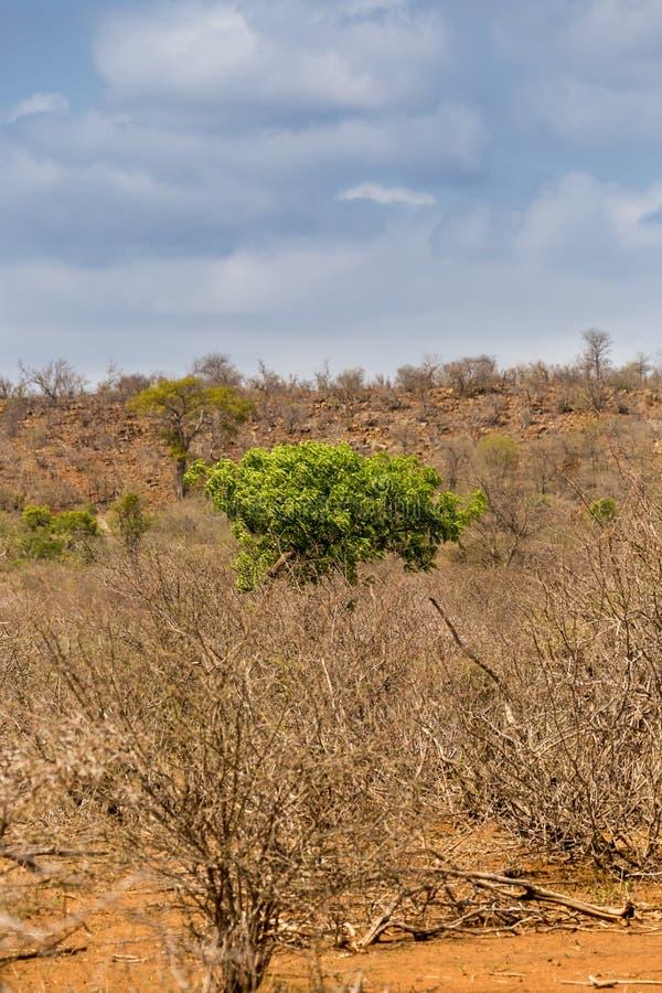 Grönt träd som växer mellan ökenområde och döda träd, Sydafrika royaltyfria bilder