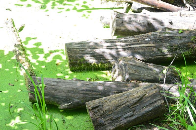 Grönt träskmarsklanlandskap Bäverplatina Sikt för avkrok för träskträdmyr royaltyfria foton