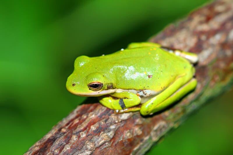 Grönt Treefrog Illinois djurliv arkivfoto
