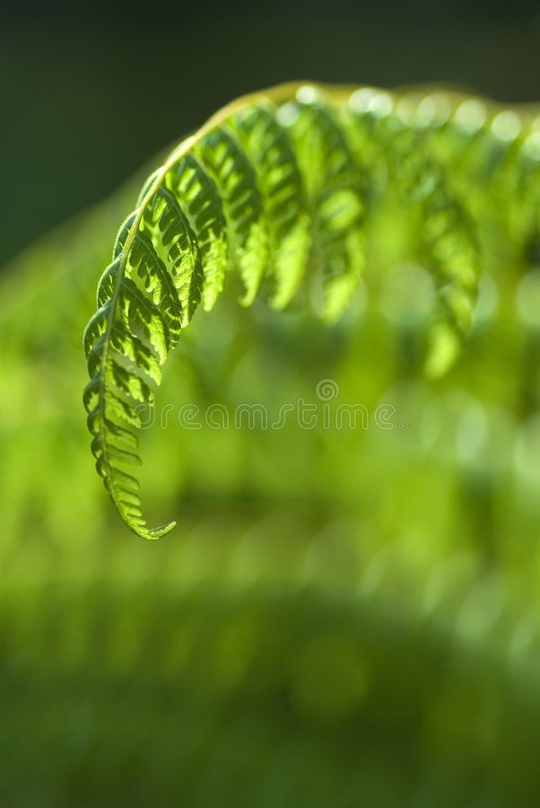 grönt tropiskt för ferns arkivbild