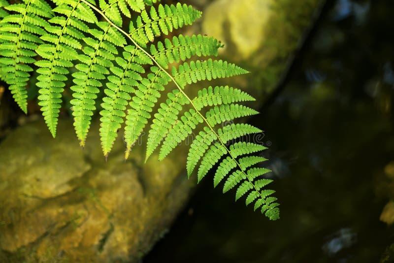 Grönt tropiskt mörkt ljust - grön bakgrund av den naturliga ormbunkefilialen, lövverk, ny exotisk botanisk modell, djungel royaltyfria foton