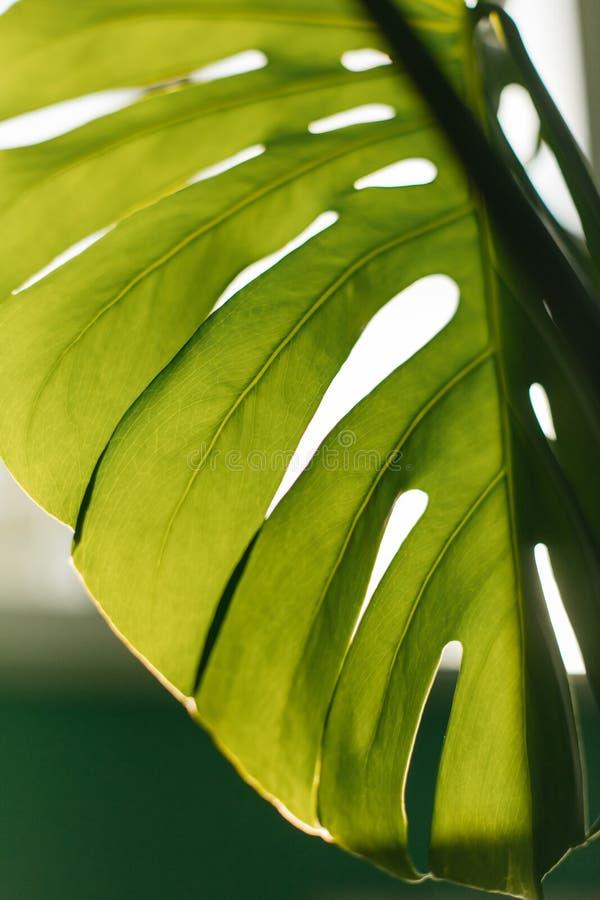 Grönt tropiskt Monstera blad close upp Bakgrund arkivfoton